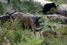 ヨセミテ国立公園の鹿の画像005