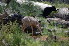 ヨセミテ国立公園の鹿の画像006