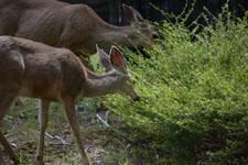 ヨセミテ国立公園の鹿の画像007