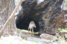 ヨセミテ国立公園の鹿の画像009