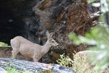 ヨセミテ国立公園の鹿の画像011
