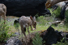 ヨセミテ国立公園の鹿の画像014