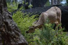 ヨセミテ国立公園の鹿の画像015