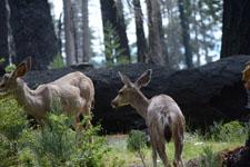 ヨセミテ国立公園の鹿の画像016