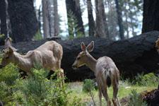 ヨセミテ国立公園の鹿の画像018