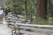 ヨセミテ国立公園の鹿の画像019