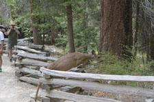 ヨセミテ国立公園の鹿の画像020