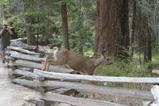 ヨセミテ国立公園の鹿の画像021