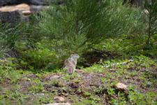 ヨセミテ国立公園のリスの画像002