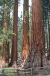 ヨセミテ国立公園のメタセコイアの画像013