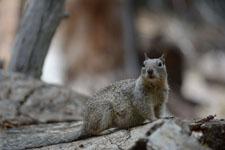 ヨセミテ国立公園のリスの画像004