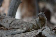 ヨセミテ国立公園のリスの画像005