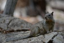 ヨセミテ国立公園のリスの画像006
