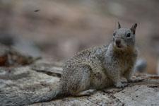 ヨセミテ国立公園のリスの画像007