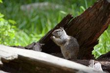 ヨセミテ国立公園のリスの画像009