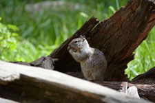 ヨセミテ国立公園のリスの画像010