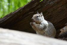 ヨセミテ国立公園のリスの画像011