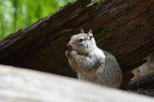 ヨセミテ国立公園のリスの画像012