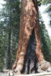 ヨセミテ国立公園のメタセコイアの画像021