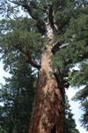 ヨセミテ国立公園のメタセコイアの画像022