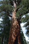 ヨセミテ国立公園のメタセコイアの画像023