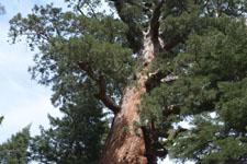 ヨセミテ国立公園のメタセコイアの画像025