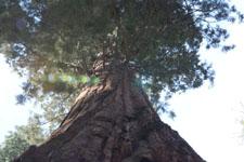 ヨセミテ国立公園のメタセコイアの画像036