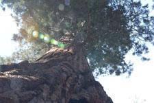 ヨセミテ国立公園のメタセコイアの画像037