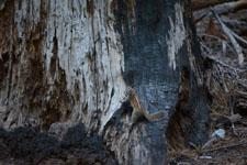 ヨセミテ国立公園のリスの画像014