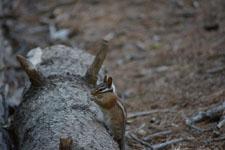 ヨセミテ国立公園のリスの画像015