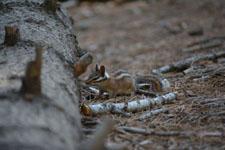 ヨセミテ国立公園のリスの画像016