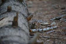 ヨセミテ国立公園のリスの画像017