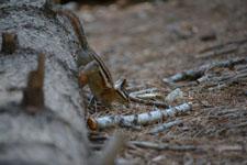 ヨセミテ国立公園のリスの画像018
