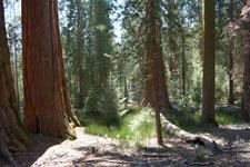 ヨセミテ国立公園のメタセコイアの画像040