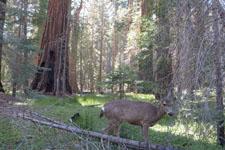 ヨセミテ国立公園の鹿の画像022