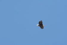 ヨセミテ国立公園のハクトウワシの画像002