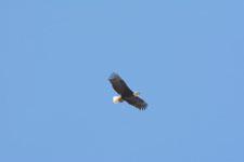 ヨセミテ国立公園のハクトウワシの画像003