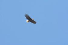 ヨセミテ国立公園のハクトウワシの画像004