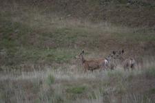 イエローストーン国立公園の鹿