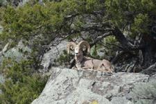 イエローストーン国立公園のオオツノヒツジの画像002