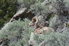 イエローストーン国立公園のオオツノヒツジの画像003