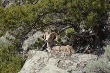 イエローストーン国立公園のオオツノヒツジの画像004