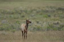 イエローストーン国立公園のエルクの画像001