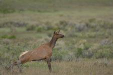 イエローストーン国立公園のエルクの画像002