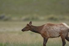 イエローストーン国立公園のエルクの画像003