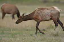 イエローストーン国立公園のエルクの画像004