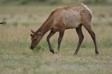 イエローストーン国立公園のエルクの画像005