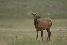 イエローストーン国立公園のエルクの画像006