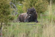 イエローストーン国立公園のアメリカバイソンの画像002
