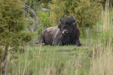 イエローストーン国立公園のアメリカバイソンの画像003